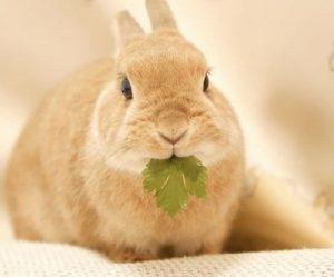 midorimushi-rabbit